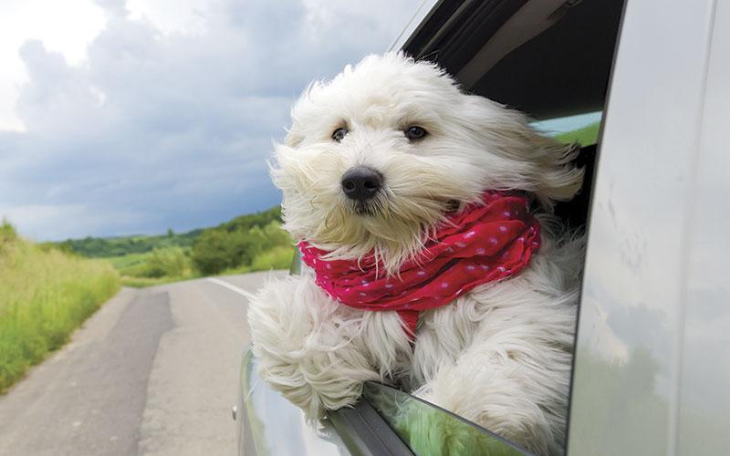 Dog in Car iStock